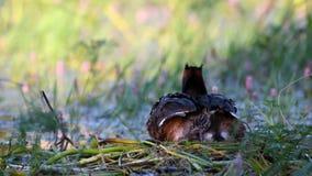 Wielki Czubaty perkoz, Podiceps cristatus na gniazdowej Pisklęcej wspinaczce pod skrzydłem, zdjęcie wideo
