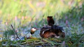 Wielki Czubaty perkoz, Podiceps cristatus na gniazdowych rodzicach, karmi kurczątka które siedzą pod skrzydłem na mama plecy zbiory wideo