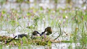 Wielki Czubaty perkoz, Podiceps cristatus na gniazdowych rodzicach, karmi kurczątka które siedzą pod skrzydłem na mama plecy zbiory