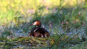 Wielki Czubaty perkoz, Podiceps cristatus, siedzi na gniazdowych Trzy kurczątkach wspina się pod skrzydłem zbiory wideo