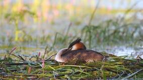 Wielki czubaty perkoz, podiceps cristatus, wodnego ptaka obsiadanie na gniazdeczku zbiory