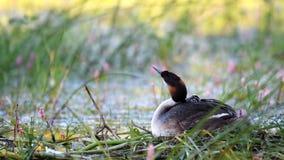 Wielki Czubaty perkoz, Podiceps cristatus, wodnego ptaka obsiadanie na gniazdeczku kurczątko patrzeje za skrzydle spod zdjęcie wideo