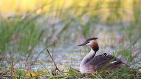 Wielki Czubaty perkoz, Podiceps cristatus, wodnego ptaka obsiadanie na gniazdeczku kurczątko patrzeje za skrzydle spod zbiory