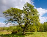 Wielki Dębowy drzewo W wiośnie Zdjęcia Stock