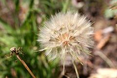Wielki dandelion kwiat Zdjęcie Royalty Free