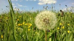 Wielki dandelion w wiosny polu zdjęcia royalty free