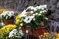 Wielki dekoracyjny kwiatu łóżko chryzantemy w garnkach Fotografia Stock