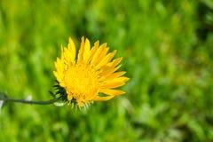 Wielki Dolinny Gumweed, Wielki Dolinny Gumplant grindelii camporum, grindelii robusta kwiecenie, Kalifornia zdjęcia royalty free