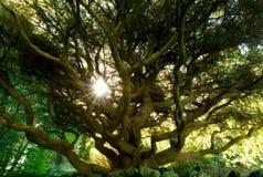 Wielki Drzewny baldachim, Sargent ` s szaleju tsuga canadensis płaczący wahadła fotografia stock