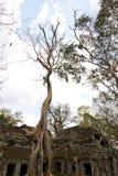 Wielki drzewny dorośnięcie na Ta Phrom obrazy royalty free