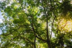 Wielki drzewny widok, stawia czoło upwards niebieskiego nieba światło dzienne Obraz Stock