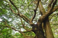Wielki drzewo fotografia stock