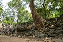 Wielki drzewo który wzrasta nad ścianą która załamuje się bayon świątynia przy Angkor Thom zdjęcie stock