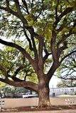 Wielki drzewo przy JFK zabójstwem Dallas TX fotografia royalty free