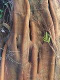 Wielki drzewo z orchideami i kleistymi korzeniami w tropikalnym lesie deszczowym obraz royalty free