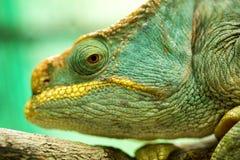 Wielki duchownego ` s kameleon, Calumma parsonii, Madagascar Zdjęcia Royalty Free
