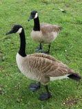 Wielki dzień dla kaczek zdjęcie royalty free