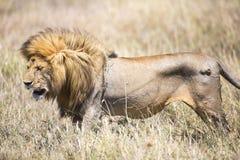 Wielki dziki męski lew w Serengeti Obrazy Royalty Free