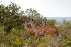 Wielki Żeński kudu& x27; s patrzeje dla niektóre mężczyzna fotografia stock