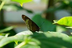 Wielki Eggfly Fotografia Royalty Free