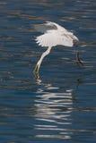 Wielki Egret łapiąca ryba Obrazy Royalty Free