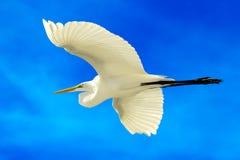 Wielki egret Fotografia Stock