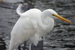Wielki Egret Zdjęcie Royalty Free
