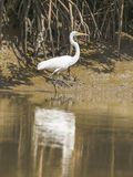 Wielki Egret obrazy royalty free