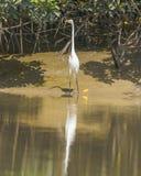 Wielki Egret zdjęcia stock