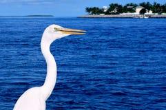 Wielki Egret (Ardea albumy) Zdjęcia Stock
