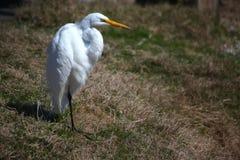 wielki egret biel Fotografia Royalty Free