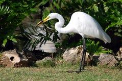 wielki egret biel Zdjęcie Stock