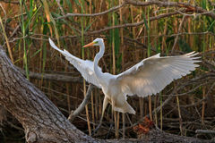 wielki egret biel Zdjęcie Royalty Free