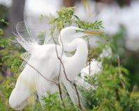 wielki egret biel Obrazy Royalty Free