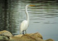 Wielki Egret blisko Sacramento rzeki Obraz Royalty Free