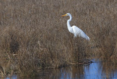 Wielki Egret Chincoteague Virginia Zdjęcia Stock