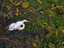 wielki egret drzewo Obraz Royalty Free