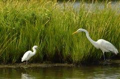 Wielki Egret i śniegu Egret pasać nawadnia Zdjęcia Stock