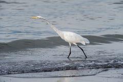 Wielki Egret Jeziornym Chapala Fotografia Royalty Free