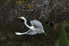 Wielki Egret latanie Zdjęcia Stock
