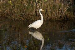 Wielki Egret, Merritt wyspy Krajowy rezerwat dzikiej przyrody, Floryda zdjęcia royalty free