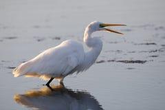 Wielki Egret - Merritt wyspy rezerwat dzikiej przyrody, Floryda Obraz Royalty Free
