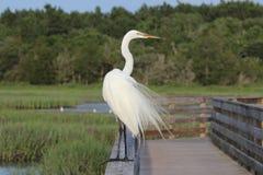 Wielki Egret na zegarku Obrazy Stock