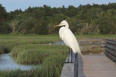 Wielki Egret na zegarku 2 Zdjęcie Stock