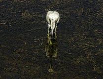 Wielki Egret odbicie fotografia royalty free
