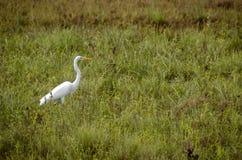 Wielki Egret połów w płyciznach zdjęcia royalty free