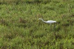Wielki Egret połów w płyciznach obraz royalty free