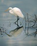 wielki egret połów Obrazy Royalty Free