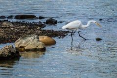 Wielki Egret połów w Sacramento rzece Obraz Stock