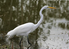 wielki egret polowanie Fotografia Stock